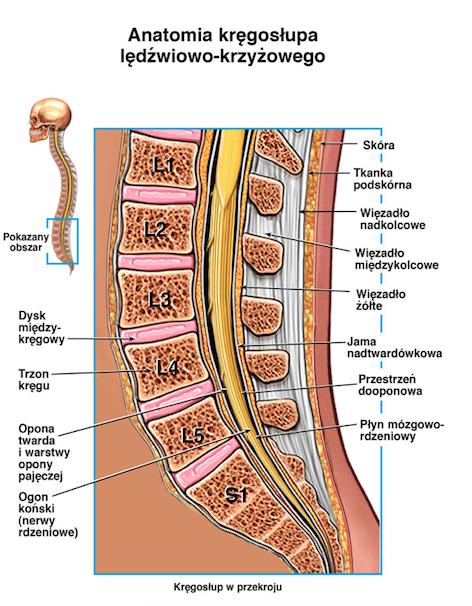 kręgosłup - anatomia